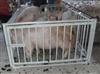 电子地磅秤1-3t秤牛称猪秤定制